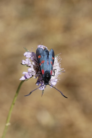 zygaena: Zygaena filipendulae, Six-spot Burnet in France, Europe