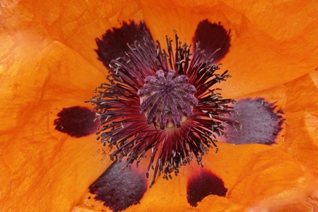 oriental poppy: Oriental poppy, Papaver orientale in spring, Germany, Europe