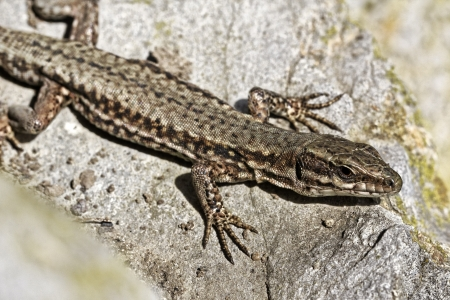 viviparous lizard: Lacerta vivipara, Viviparous lizard or Common lizard from Germany, Europe