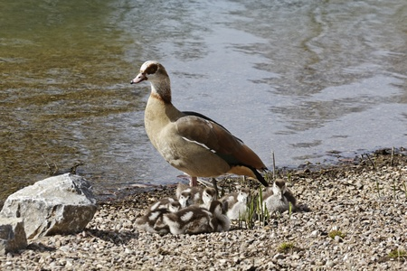 Egyptian Goose, Alopochen aegytiacus with goslings in Germany, Europe photo