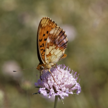 daphne: Brenthis daphne, Marbled Fritillary from Southern France, Europe Stock Photo