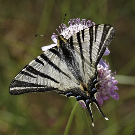 Iphiclides podalirius, Scarce swallowtail, Sail swallowtail or Pear-tree swallowtail from Southern France, Europe photo