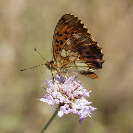 daphne: Brenthis daphne, Marbled Fritillary butterfly from Western Europe