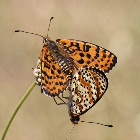 in copula: Melitaea didyma, Spotted Fritillary or Red-band Fritillary butterfly from Western Europe Stock Photo