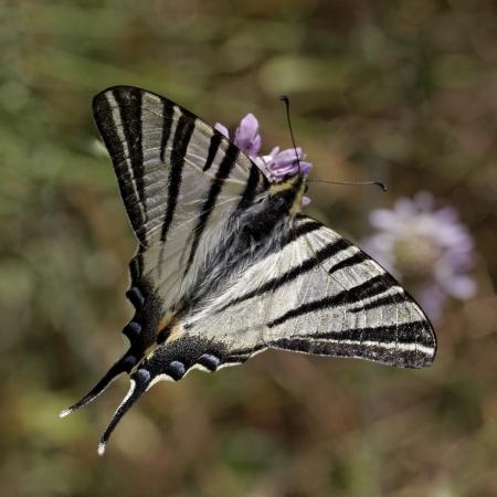 scarce: Iphiclides podalirius, Scarce swallowtail, Sail swallowtail, Pear-tree swallowtail, butterfly from Western Europe Stock Photo