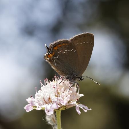 Satyrium ilicis, Ilex Hairstreak, european butterfly from France photo