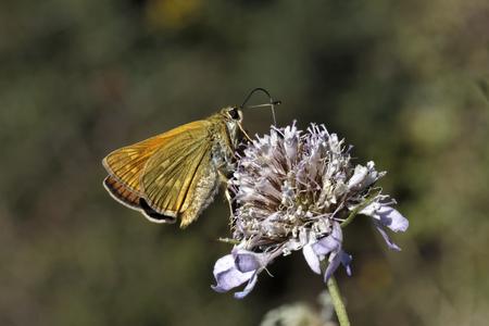 Ochlodes venatus, Ochlodes sylvanus, Large Skipper butterfly