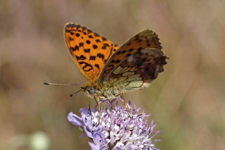 daphne: Brenthis daphne, Marbled Fritillary butterfly from France, Southern Europe