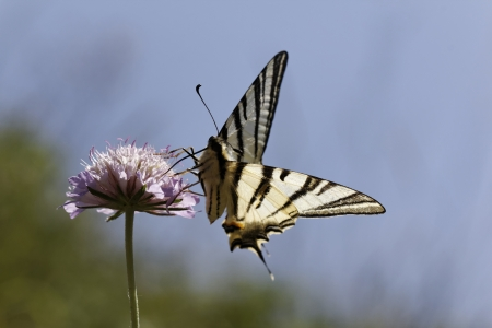 Iphiclides podalirius, Scarce swallowtail, Sail swallowtail, Pear-tree swallowtail in Southern France, Europe photo