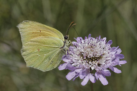 gonepteryx: Gonepteryx cleopatra, Cleopatra, Cleopatra butterfly  female  from Europe