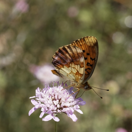 daphne: Brenthis daphne, Marbled Fritillary butterfly from Southern France, Europe