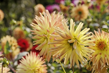 late summer: Yellow Dahlia hybrid, late summer flower in Germany