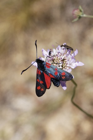 zygaena: Zygaena filipendulae, Six-spot Burnet butterfly from Germany, Europe Stock Photo