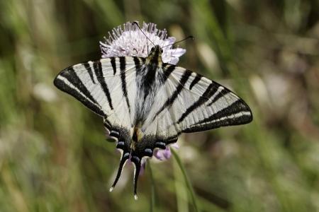 scarce: Iphiclides podalirius, Scarce swallowtail, Sail swallowtail, Pear-tree swallowtail from Southern France, Europe
