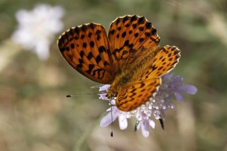 daphne: Brenthis daphne, Marbled Fritillary mariposa de Francia, Europa