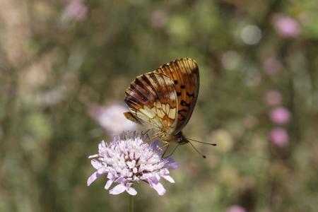 dafne: Brenthis daphne, marmorizzata Fritillary farfalla dalla Francia meridionale, Europa Archivio Fotografico