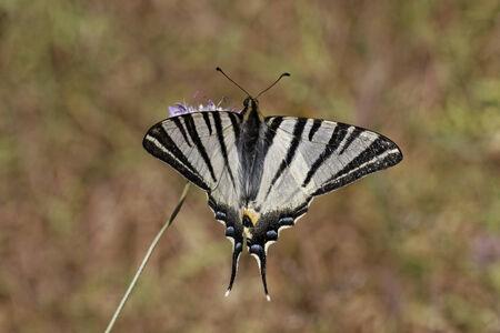 scarce: Iphiclides podalirius, Scarce swallowtail, Sail swallowtail, Pear-tree swallowtail in Southern France, Europe Stock Photo