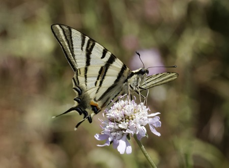 Iphiclides podalirius, Scarce swallowtail, Sail swallowtail, Pear-tree swallowtail, butterfly from Western Europe photo