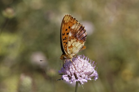 Brenthis daphne, Marbled Fritillary from Southern France, Europe photo
