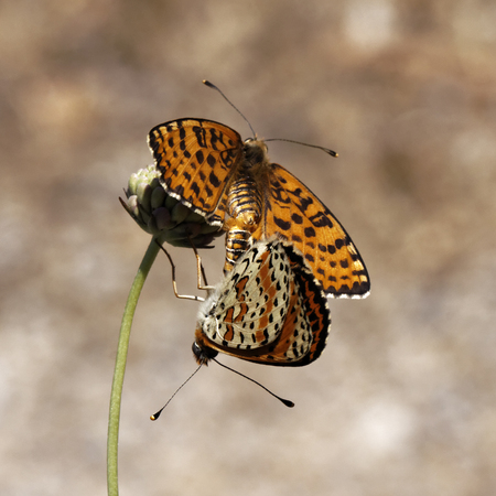 in copula: Melitaea didyma, Spotted Fritillary or Red-band Fritillary  Copula  from Southern France, Europe