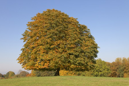 aesculus hippocastanum: Horse chestnut tree  Aesculus hippocastanum  Conker tree in autumn, Lengerich, North Rhine-Westphalia, Germany, Europe Stock Photo