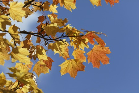 norway maple: Acer platanoides, Norway maple in autumn, Germany, Europe Stock Photo