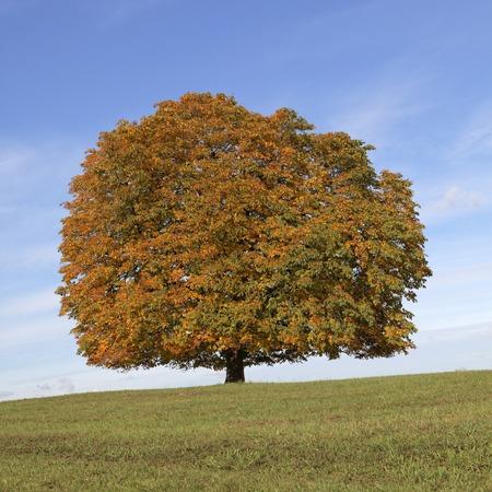 Конский каштан дерево Конский каштан обыкновенный Conker дерево осенью, Ленгерих, Северный Рейн-Вестфалия, Германия, Европа