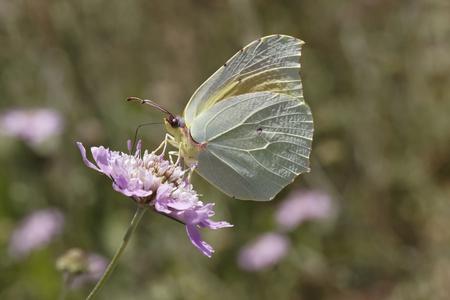gonepteryx: Gonepteryx cleopatra, Cleopatra butterfly from Southern France, Europe