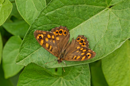 speckled wood: Pararge aegeria, Speckled Wood Butterfly, european butterfly from Western Europe