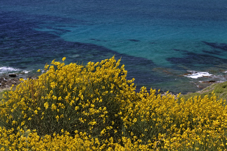 weavers: Spanish broom, Spartium junceum, Weavers broom near Ile Rousse, Balagne, Northern Corsica, France