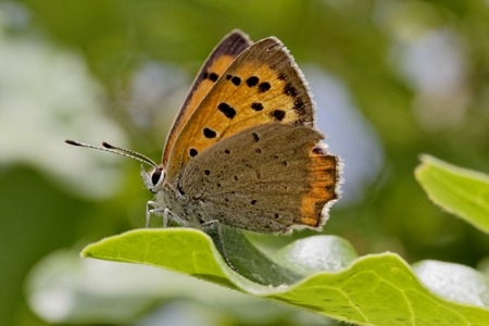 lycaena: Lycaena phlaeas, Small Copper, American Copper, Common Copper, european butterfly from France, Southern Europe