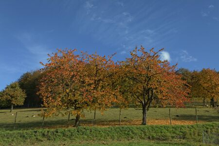broad leaved tree: Cherry trees in autumn, Hagen, Lower Saxcony, Germany, Europe