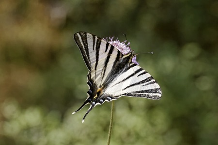 scarce: Iphiclides podalirius, Scarce swallowtail, Sail swallowtail, Pear-tree swallowtail from France, Southern Europe