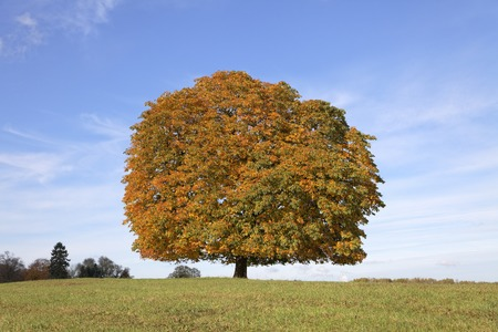 broad leaved tree: Horse chestnut tree (Aesculus hippocastanum) Conker tree in autumn, Lengerich, North Rhine-Westphalia, Germany, Europe