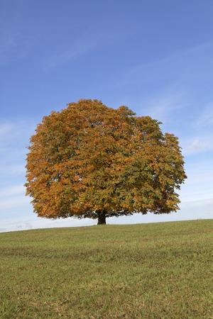 aesculus hippocastanum: Horse chestnut tree (Aesculus hippocastanum) Conker tree in autumn, Lengerich, North Rhine-Westphalia, Germany, Europe