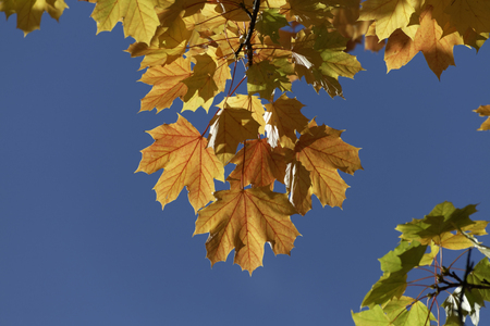 acer platanoides: Norway maple in autumn (Acer platanoides), Germany Stock Photo