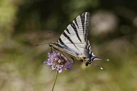 scarce: Iphiclides podalirius, Scarce swallowtail, Sail swallowtail, Pear-tree swallowtail, european butterfly from France