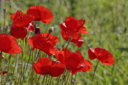 papaver rhoeas: Papaver rhoeas, Corn Poppy, Corn Rose, Field Poppy, Flanders Poppy, Red Poppy, Red Weed, Coquelicot