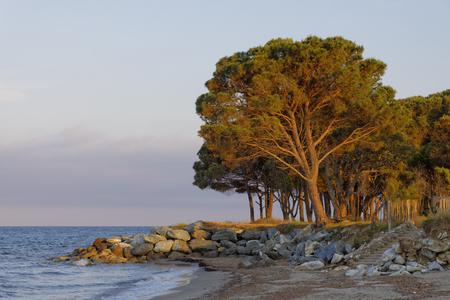 plage: Pinus pinea, Umbrella pine, Parasol pine, Italian stone pine, Stone pine, Moriani Plage, Moriani beach, Corsica, France