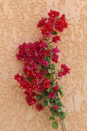 Bougainvillea glabra, Paper flower, Lesser Bougainvillea from Corsica, France, Europe photo