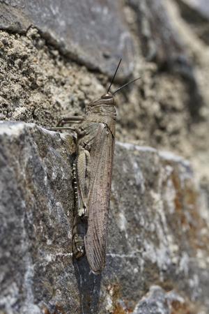 Egyptian Locust, Egyptian Grasshopper (Anacridium aegypticum) on a wall in Corsica, France, Europe photo