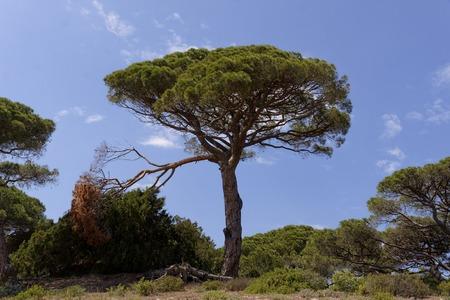 plage: Pinus pinea, Umbrella pine (Parasol pine, Italian stone pine, Stone pine) Moriani Plage, Moriani beach, Corsica, France Stock Photo