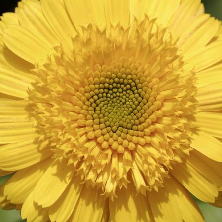 pot marigold: Calendula officinalis, Pot Marigold, Ruddles, Common marigold, English marigold, ornamental flower in summer Stock Photo
