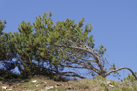 mugo: Dwarf mountain pine (Pinus mugo), scrub mountain pine, Swiss mountain pine or Mugo Pine in Germany, Europe