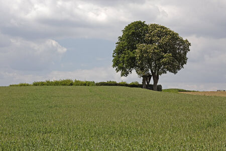 broad leaved tree: Blossoming horse chestnut, (Aesculus hippocastanum) with field in May, Bad Iburg, Osnabrueck country, Lower Saxony, Germany, Europe
