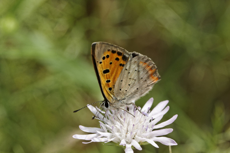 lycaena: Lycaena phlaeas, Small Copper from Europe, european name, common names are American Copper, Common Copper