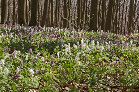 corydalis: Forest with corydalis flower in spring, Bad Iburg, Lower Saxony, Germany Stock Photo