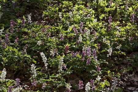 corydalis: Corydalis flower in spring, Bad Iburg, Lower Saxony, Germany