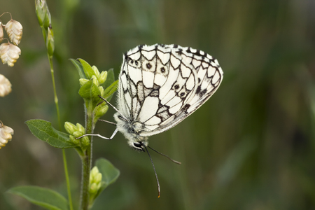 white butterfly: Melanargia galathea, Marbled White butterfly from Lower Saxony, Germany
