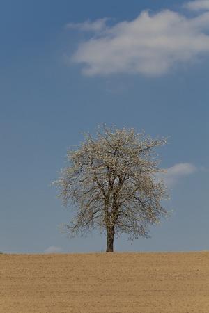 broad leaved tree: Blossoming cherry tree in spring, North Rhine-Westphalia, Germany